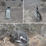 Pinguins punta tombo